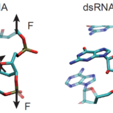Representation of two base-pair steps to highlight the different orientation of the sugar with respect to the phosphate backbone of dsDNA (Left) and dsRNA (Right). The extra hydroxyl group in the ribose - the dsRNA sugar - changes its stereochemistry and is ultimately responsible for the opposite twist-stretch coupling.