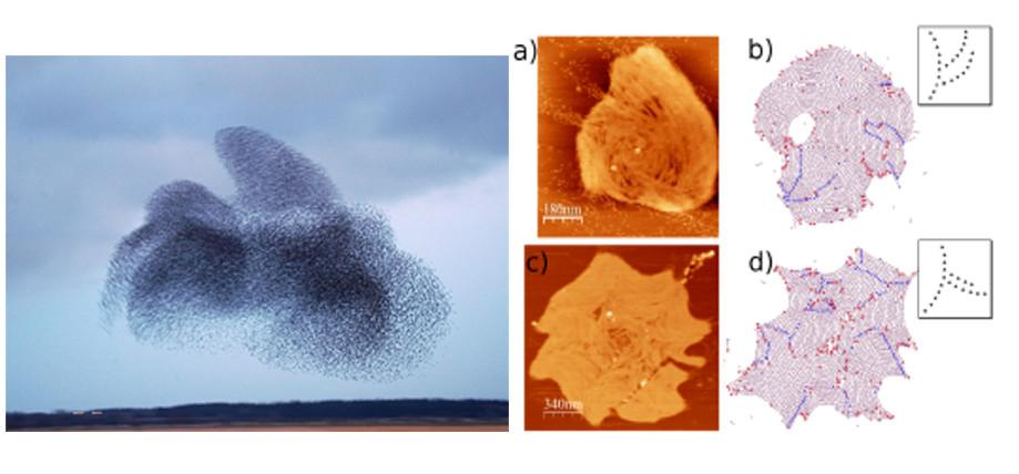Figura 1: Bandada de pájaros y cúmulos de filamentos de proteínas: estructuras complejas formadas por materia activa a escalas muy diferentes.