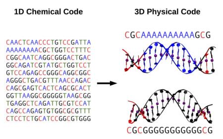 Figura 1: La secuencia del DNA actúa como un código físico que permite modificar la estructura y flexibilidad a corta escala, y, a través de ellas, su actividad biológica.